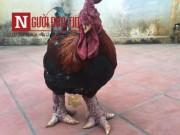 Chơi ngông: Làm lẩu gà Đông Tảo chân  khủng  nếu bán không được giá