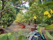 """Thời tiết  """" đỏng đảnh """" , nhà vườn SG khóc ròng nhìn mai nở sớm"""
