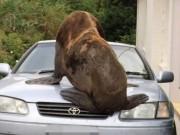Phi thường - kỳ quặc - Hải cẩu khổng lồ đi 50km vào đất liền đập vỡ kính ô tô