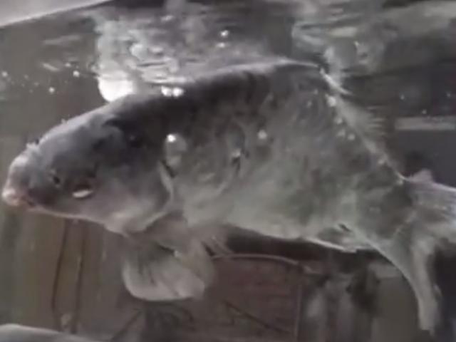 Video: Cá chép đóng băng sống lại khi cho vào nước