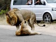 """Phi thường - kỳ quặc - Sư tử ngang nhiên làm """"chuyện ấy"""" trên đường gây ách tắc giao thông"""