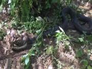 Thế giới - Hổ mang chúa khổng lồ dài 5m đoạt mạng trăn