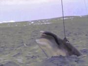 Thế giới - Video tàu Nhật Bản bí mật đánh bắt cá voi khổng lồ ở Úc