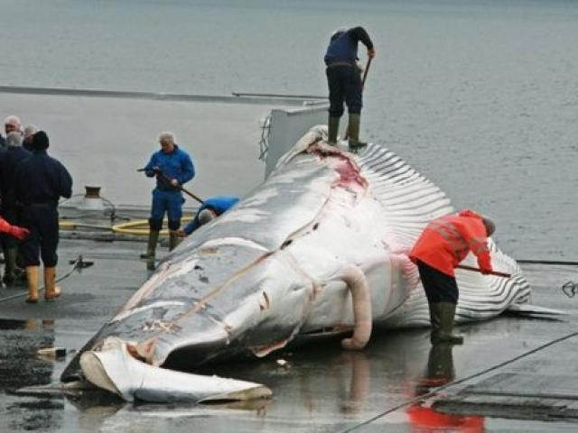 Quốc gia muốn giết cả ngàn cá voi nhưng không đem về ăn - 3
