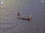 Thế giới - Video: Kinh ngạc cảnh cá dìm chim dưới nước để ăn thịt
