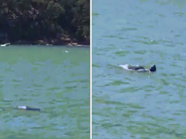 Sinh vật bí ẩn bơi trên sông ở Australia