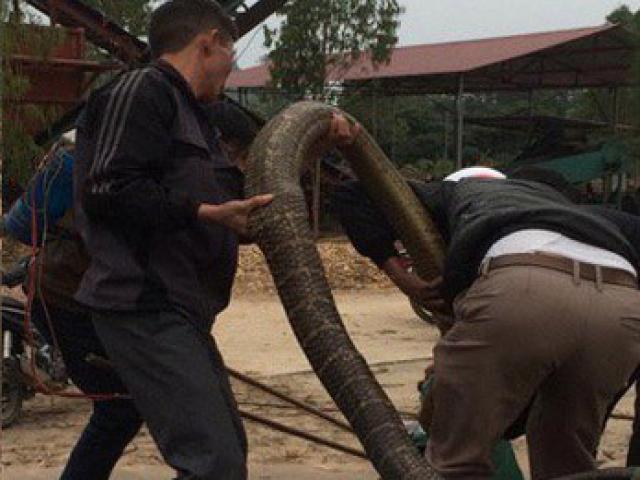 """Người dân phủ nhận bắt được con rắn """"khổng lồ"""" ở Vĩnh Phúc?"""
