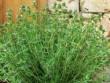 Loại cỏ là thần dược cho thần kinh và hô hấp