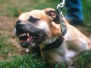 Mỹ: Cặp chó pit bull cắn chết người phụ nữ hàng xóm đêm Giáng sinh