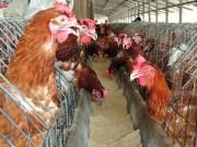 Thị trường - Tiêu dùng - Trại gà không xuất khẩu được vì nằm gần… trại vịt