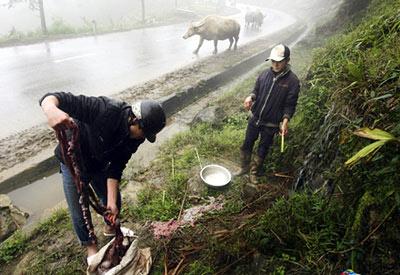 Hàng nghìn con trâu bò chết rét - 1