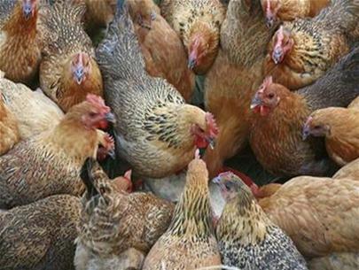 Phân biệt gà ta với gà thải Trung Quốc? - 1
