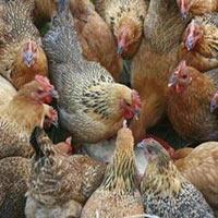 Phân biệt gà ta với gà thải Trung Quốc?