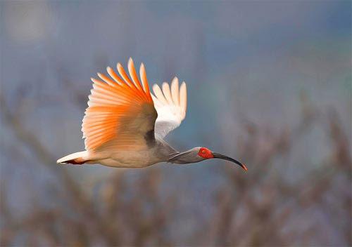 Những loài chim quý và hiếm nhất - 7