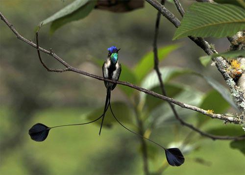 Những loài chim quý và hiếm nhất - 9