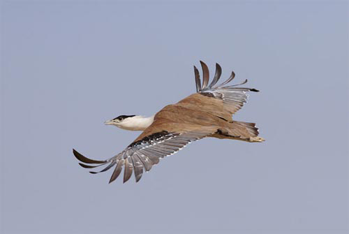 Những loài chim quý và hiếm nhất - 10