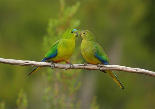 Những loài chim quý và hiếm nhất - 12