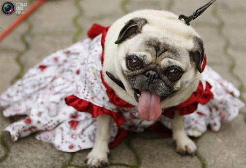 Mặc áo đẹp cho cún - 5