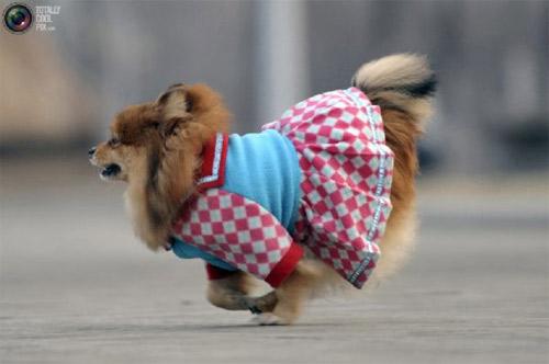 Mặc áo đẹp cho cún - 12