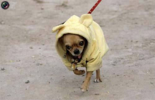 Mặc áo đẹp cho cún - 15