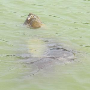 Cụ Rùa hồ Gươm muốn lên bờ? - 1