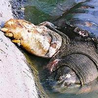 Cụ Rùa hồ Gươm muốn lên bờ?