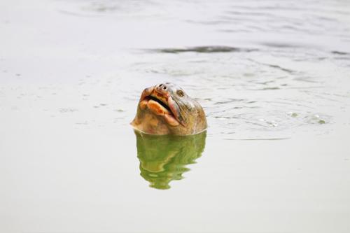 Những hình ảnh mới nhất về cụ Rùa - 1