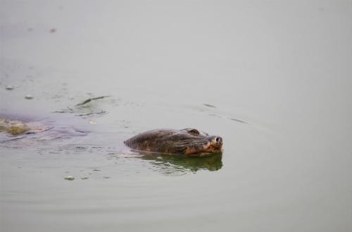 Những hình ảnh mới nhất về cụ Rùa - 8