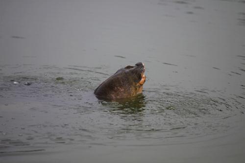 Những hình ảnh mới nhất về cụ Rùa - 2