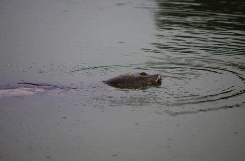 Những hình ảnh mới nhất về cụ Rùa - 3