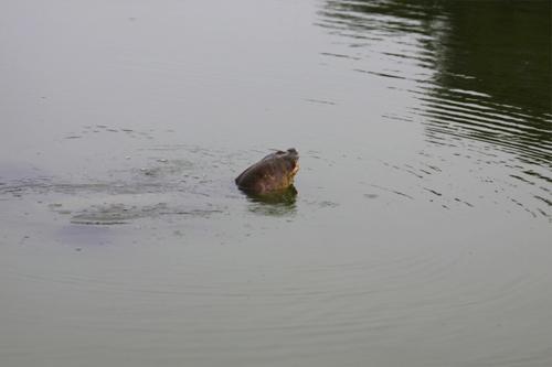 Những hình ảnh mới nhất về cụ Rùa - 6