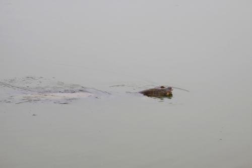 Những hình ảnh mới nhất về cụ Rùa - 7
