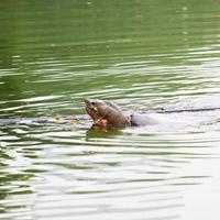Những hình ảnh mới nhất về cụ Rùa