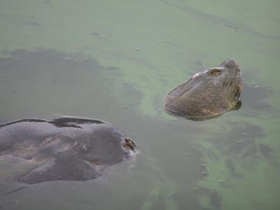 Hồ Gươm có ít nhất 2 cụ Rùa? - 2