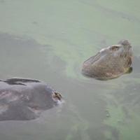 Hồ Gươm có ít nhất 2 cụ Rùa?