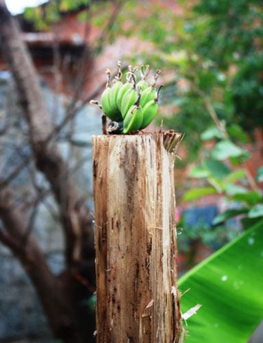 Kì lạ: Cây chuối cụt mọc nải từ giữa thân - 1