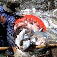 ĐBSCL: Giá tôm sú và cá tra tăng mạnh