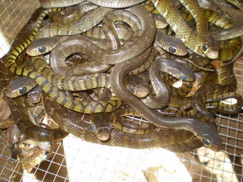 """""""Ông vua"""" của loài rắn - 1"""