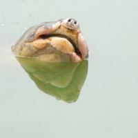 Thực hư chuyện hồ Gươm có 2 cụ Rùa?
