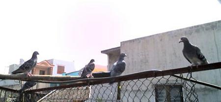 Thú đua chim bồ câu giữa trời Sài Gòn - 1