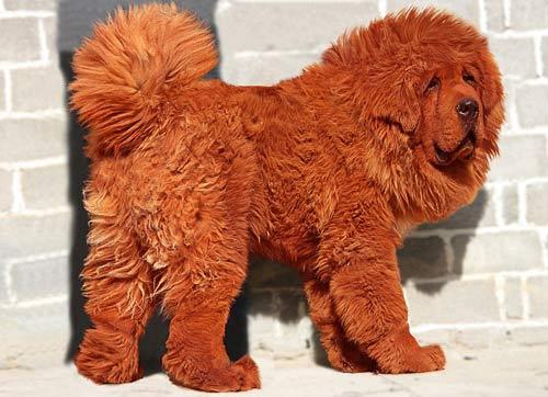 Chú chó giá 31 tỉ đồng - 1