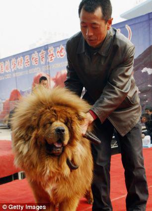 Chú chó giá 31 tỉ đồng - 3