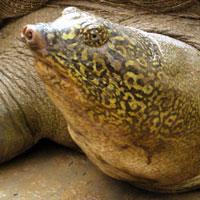 Chuyện về rùa khổng lồ ở Sơn Tây
