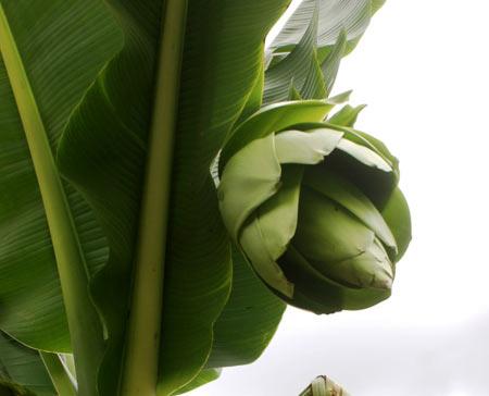 Đà Lạt: Cây chuối lạ nở hoa xanh - 1