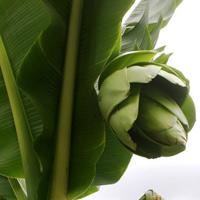 Đà Lạt: Cây chuối lạ nở hoa xanh
