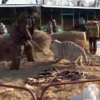Nga: Thăm vườn thú, bé 3 tuổi bị hổ vồ