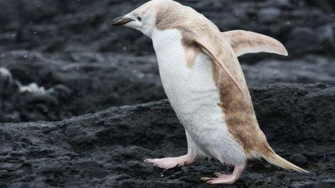 Phát hiện chim cánh cụt bạch tạng lạ kỳ - 1