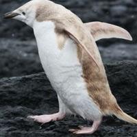 Phát hiện chim cánh cụt bạch tạng lạ kỳ