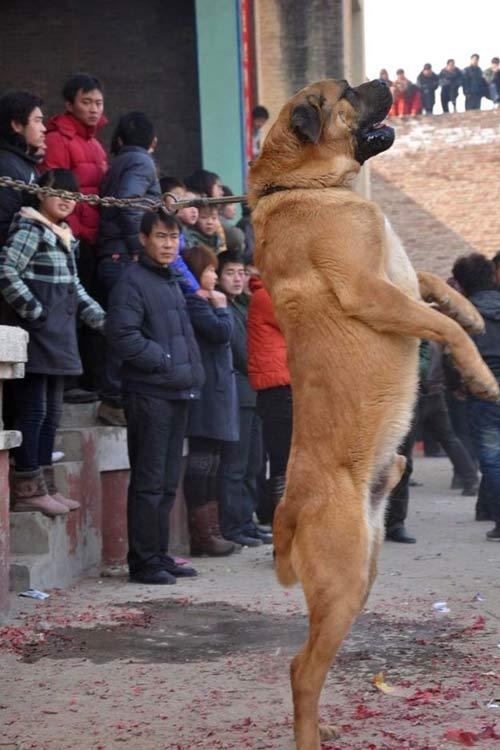Xôn xao lễ hội chọi… chó - 2