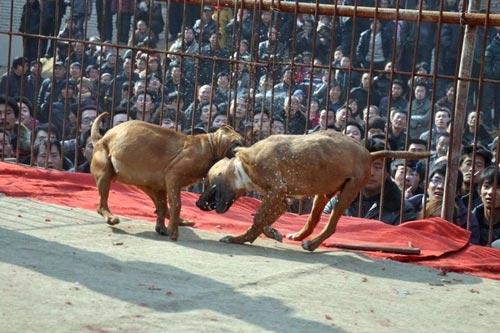 Xôn xao lễ hội chọi… chó - 4